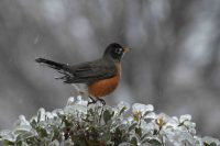 robin on holly bush
