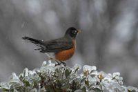 robin on holly bush